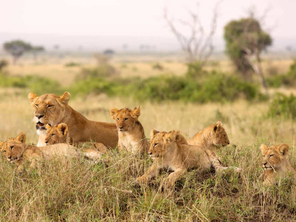 Txi events featured img africa kenya lions
